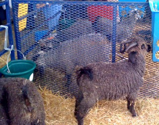 Sheep are the main event at Rhinebeck, NY
