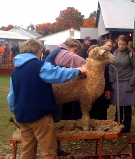Sheep haircut is a public affair at Rhinebeck